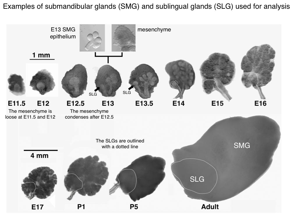 NIDCR Salivary Gland Atlas